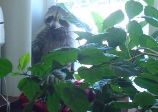 Проникшего вофис петербургской фирмы енота хотят определить вЛенинградский зоопарк . Изображение № 1.