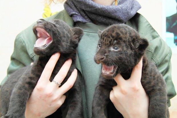 Фото дня: Детёныши ягуара в Ленинградском зоопарке. Изображение № 1.