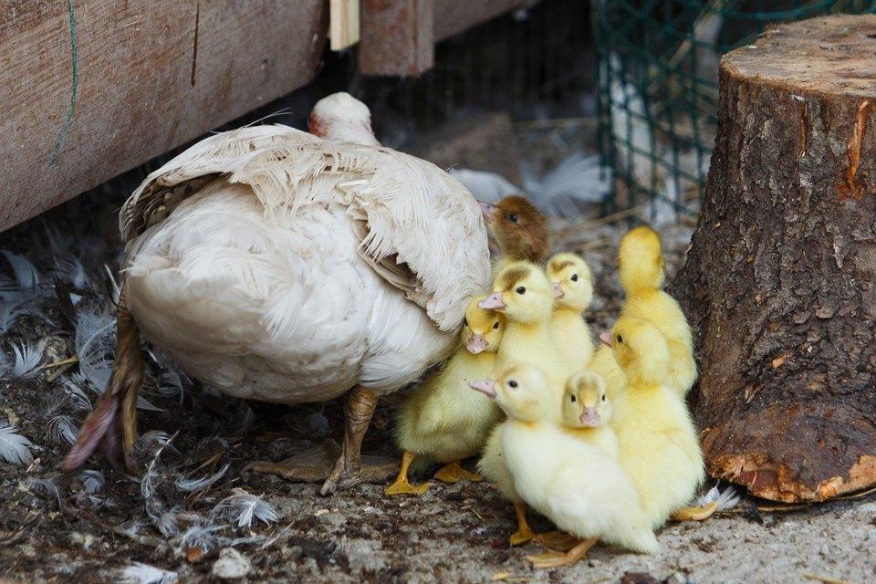 Как заработать наптичьей ферме. Изображение № 5.