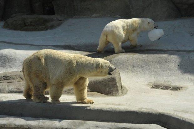 Купание медведей вмосковском зоопарке. Изображение № 3.
